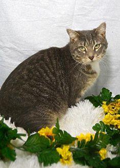 Manx Cat for adoption in St. Cloud, Florida - Mandie Sue