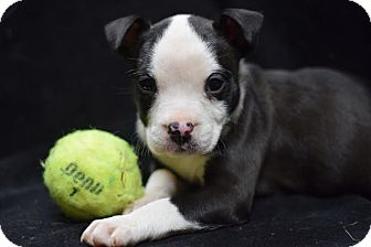 English Bulldog Mix Puppy for adoption in Manhattan, New York - Catalina