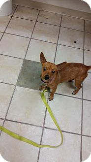 Chihuahua Mix Dog for adoption in Chippewa Falls, Wisconsin - Red