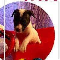 Labrador Retriever/Pit Bull Terrier Mix Puppy for adoption in Cat Spring, Texas - Gabbie