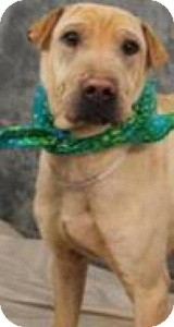 Shar Pei Mix Dog for adoption in North Wales, Pennsylvania - Pickles