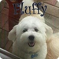 Adopt A Pet :: FL - Fluffy - Boca Raton, FL