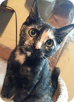 Domestic Shorthair Cat for adoption in Cerritos, California - Morgan