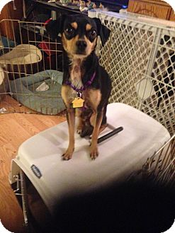 Chihuahua/Miniature Pinscher Mix Dog for adoption in Seattle, Washington - Prince #439