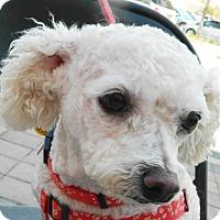 Adopt A Pet :: Palomita - Umatilla, FL