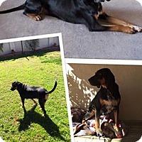 Adopt A Pet :: Koda - Scottsdale, AZ