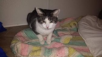 Domestic Shorthair Cat for adoption in Iroquois, Illinois - February