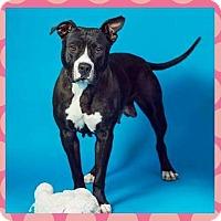 American Pit Bull Terrier Dog for adoption in Sacramento, California - Rumor