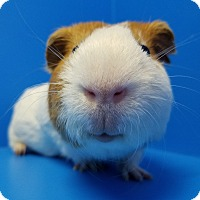 Guinea Pig for adoption in Lewisville, Texas - Dumbledore