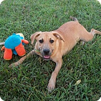 Black Mouth Cur Mix Puppy for adoption in Mount Ida, Arkansas - Jenger