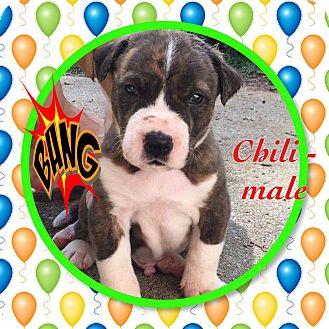 Boxer Mix Puppy for adoption in siler city, North Carolina - Chili