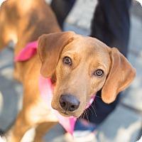 Hound (Unknown Type) Mix Puppy for adoption in Washington, D.C. - Howie - NEEDS FOSTER!