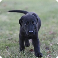 Labrador Retriever/Shepherd (Unknown Type) Mix Puppy for adoption in Mechanicsburg, Pennsylvania - Panther