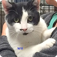 Domestic Shorthair Cat for adoption in Cliffside Park, New Jersey - WILL