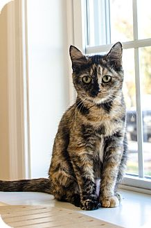 Domestic Shorthair Cat for adoption in Peace Dale, Rhode Island - Oakley