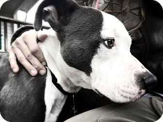 American Pit Bull Terrier Dog for adoption in grants pass, Oregon - Merlin