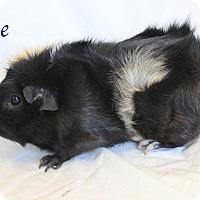 Guinea Pig for adoption in Bradenton, Florida - Pepe