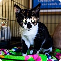 Calico Kitten for adoption in Mooresville, North Carolina - A..  Crayola