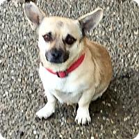 Pug/Chihuahua Mix Dog for adoption in Auburn, Washington - Gilbert
