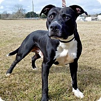 Pit Bull Terrier Mix Dog for adoption in St. Francisville, Louisiana - Apollo