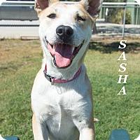 Adopt A Pet :: Sasha - Patterson, CA
