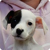 Adopt A Pet :: Snowflake - Long Beach, NY