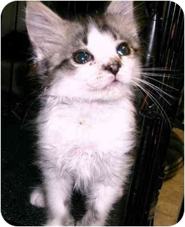 Domestic Mediumhair Kitten for adoption in Chilhowie, Virginia - Crusty