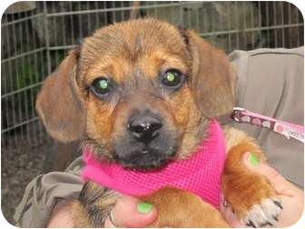 Dachshund/Pug Mix Puppy for adoption in Portland, Oregon - DELLA