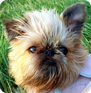 Brussels Griffon/Affenpinscher Mix Dog for adoption in Sun Prairie, Wisconsin - VOLUNTEERS NEEDED!