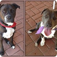 Adopt A Pet :: Cali & Turkish *Perfect Pair* - Canoga Park, CA
