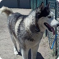 Adopt A Pet :: Balto - Gilbert, AZ