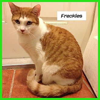 Domestic Shorthair Cat for adoption in Miami, Florida - Freckles