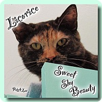 Domestic Shorthair Cat for adoption in Westbury, New York - Licorice