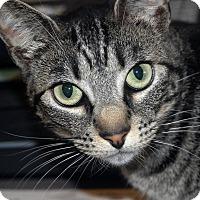 Adopt A Pet :: Patience - Kingston, WA