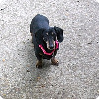 Adopt A Pet :: Queenie - West Bloomfield, MI