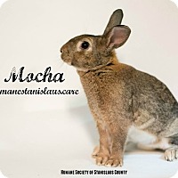 New Zealand Mix for adoption in Modesto, California - Mocha