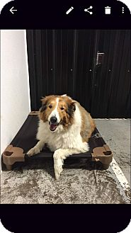 Collie Mix Dog for adoption in Chippewa Falls, Wisconsin - Lassie