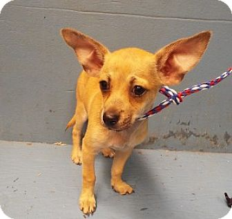 Chihuahua Mix Puppy for adoption in Chalfont, Pennsylvania - Cider
