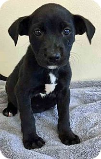 Labrador Retriever Mix Puppy for adoption in Gahanna, Ohio - ADOPTED!!!   Charlotte