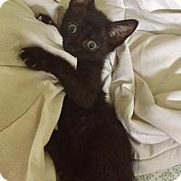 Adopt A Pet :: Bagheera - Gainesville, FL