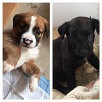 Adopt A Pet :: Beethoven - Adoption Pending - Centreville, VA