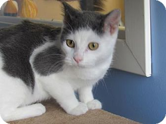 Domestic Shorthair Cat for adoption in Northfield, Minnesota - Max