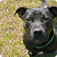 Adopt A Pet :: PRESLEY - Brooksville, FL