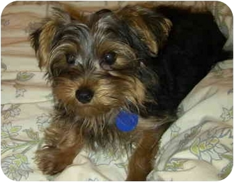 Yorkie, Yorkshire Terrier Puppy for adoption in West Palm Beach, Florida - Derby