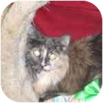Domestic Longhair Cat for adoption in Lombard, Illinois - Laney