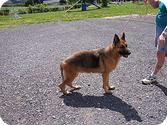 German Shepherd Dog Dog for adoption in Tully, New York - SHANA