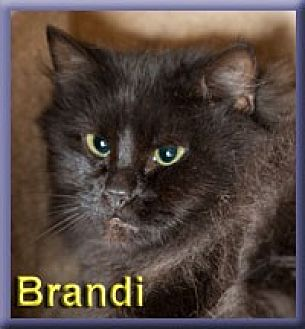 Domestic Longhair Cat for adoption in Aldie, Virginia - Brandi