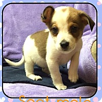 Adopt A Pet :: Spot(DC) - Harrisonburg, VA
