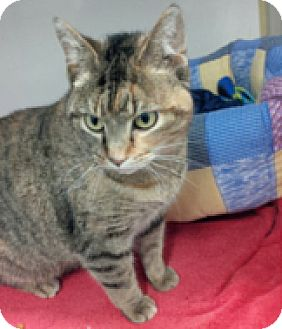 Domestic Shorthair Cat for adoption in Toronto, Ontario - Suzoe