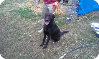 Labrador Retriever/Shepherd (Unknown Type) Mix Dog for adoption in Maryville, Tennessee - Midna